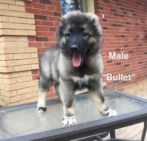 GIANT Caucasian Shepherd Ovcharka Puppies -Registered -Purebred