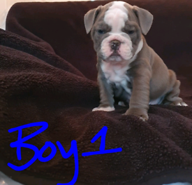 Old tyme Bulldogs for sale