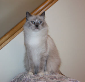 Ragdoll, 2 years old, Blue Point Mitted.