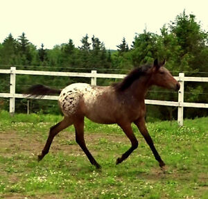 Stunning weanling pony filly