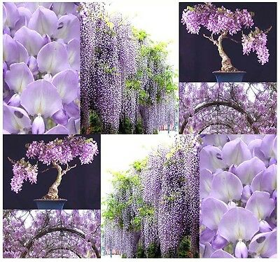 Chinese Blue Purple Wisteria - Wisteria Sinensis ...