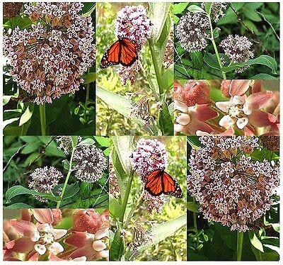 BULK Asclepias syriaca common MILKWEED Virginia Silkweed ...