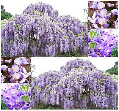 BULK x JAPANESE WISTERIA - Wisteria floribunda ...