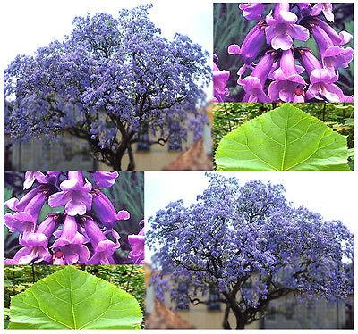 BULK Kiri Princess Foxglove Empress Tree Seeds ...