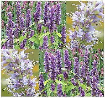 BULK ~ Anise Hyssop Seeds Herb Lavender ...
