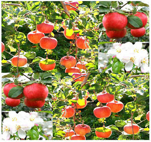 BULK-Malus-pumila-Red-Delicious-Apple-Tree-Seeds-COLD-HARDY-Zones-3-to-8