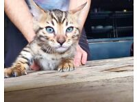 STUNNING F4 BENGAL KITTENS FOR SALE