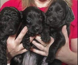 Perfect cockapoo puppies