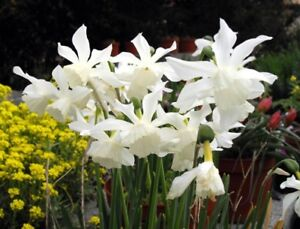 6 Daffodil THALIA Bulbs Spring White Orchid-Narcissus-Bloom next spring