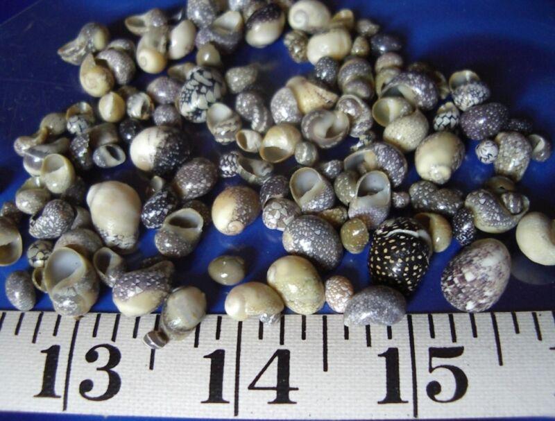 ~ Nerites (Snail Shells) ~ 100 ~ Shellcraft ~ Aquarium ~ Sailor