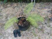 Cycad in Pot Gordonvale Cairns City Preview