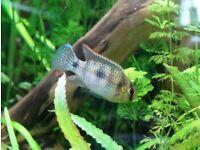 Anomalochromis thomasi / African butterfly cichlid / Dwarf juwel cichlid
