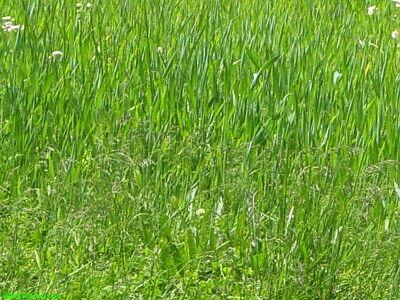 Canada Green Grass Lawn Seed Mixture 2 LBS Bag