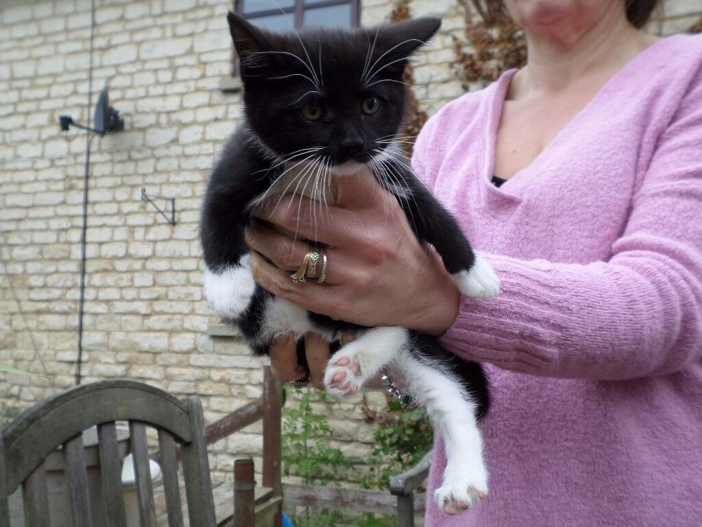 Burmese kittens for sale lincolnshire – The best breed of cats