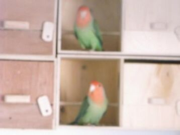 Green Lovebirds With Red/orange Head