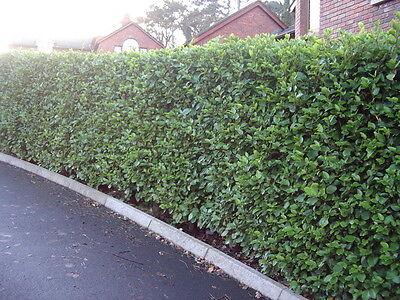 20 Griselinia Evergreen Hedging Plants, New Zealand Laurel.Grows 60cm+ / Year