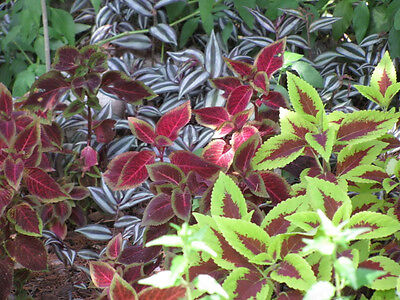 100 RAINBOW MIX COLEUS Flower Seeds + ...