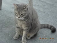 LOST GRAY TABBY CAT