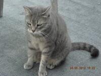 LOST GRAY TABBY CAT