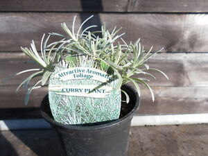 Herb Plants - 9cm Pot - Rosemary, Thyme, Lavender, Sage, Mint, Oregano + More