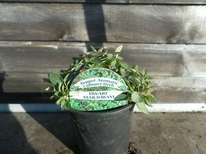 Herb Plants - 9cm Pot - Rosemary, Thyme, Lavender, Sage, Mint, Oregano + More