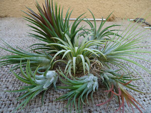Ionantha 8 Pack Deluxe Assorted Tillandsia Air Plants
