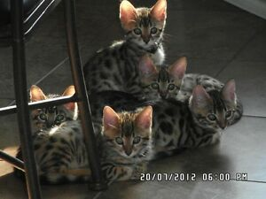 Bengal cat : reserved now your kitten Gatineau Ottawa / Gatineau Area image 5