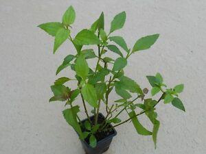 Calea zacatechichi / Dream Herb