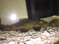 **FREE** Approx 15 cm big Common or Leopard Pleco to new home/tank!