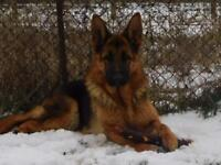 German Shepherd Champion