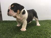 Black & Tan Male Carrying Choc & Blue