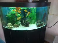 Large Juwel Black Aquarium & Cabinet and all you need