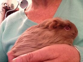 Young guinee pig light fawn in colour ,cage and extras .