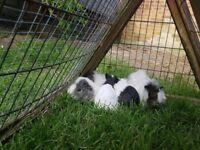 Guniea Pigs for sale - £12 each