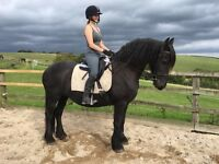 Stunning 16yo Friesian Mare For LOAN (Ignore Re-Home Date)