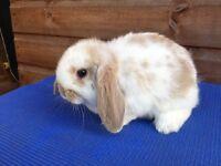 Mini Lop Rabbit Kit