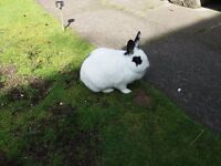 Two Female Rabbits, Mother and Daughter , Free to good home