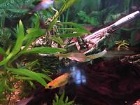 Tropical fish mollienesia