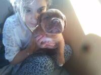 de bordeaux English mastiff cross puppys for sale