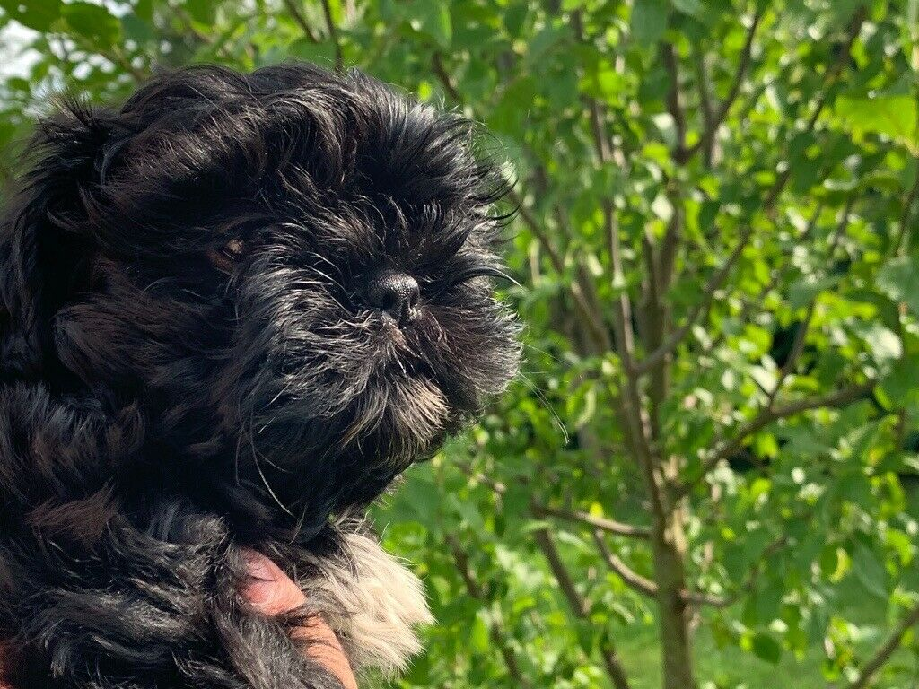 Imperial Shih Tzu Puppy For Sale Shih Tzu No Lhasa Apso In