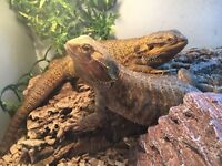 Two Bearded Dragons with Vivarium and Accessories