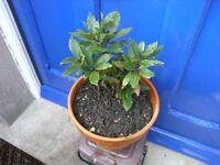 Bay Tree Heathty In 250mm Terracota Pot Weymouth