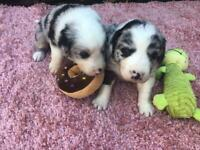 Border collies puppies - blue Merle and red and white puppies available