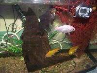 some gold fish for sale £15