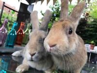 Gorgeous Friendly Bunnies - 2 Sisters Rabbits free to good home