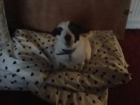 COOPER 5 YRS JACK RUSSELL TERRIER