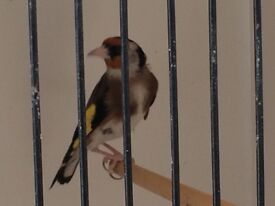 Cyprus goldfinch for sale