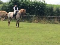13.2 new forest gelding 21 yrs young 1st or 2nd pony