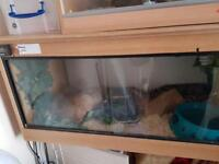 Large male python + all equipment needed ie viv etc
