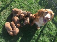 Gorgeous Red-Fox Miniature F1 Cockerpoo Puppies Ready In 2 Weeks